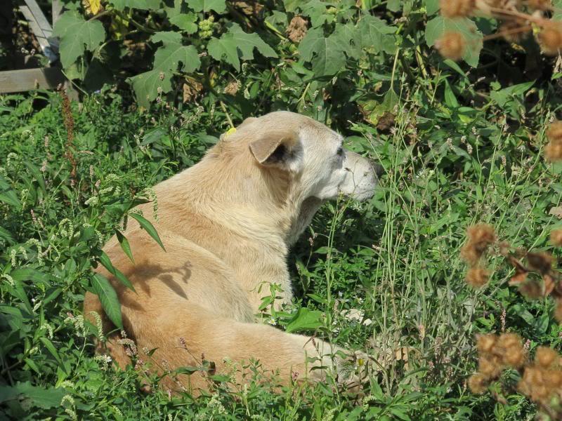 Cali, vielle chienne du quartier d'Irina, Monica et Avedis - décédée IMG_9433