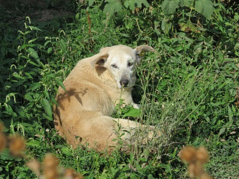 Cali, vielle chienne du quartier d'Irina, Monica et Avedis - décédée IMG_9434