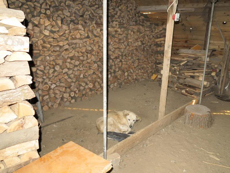 Cali, vielle chienne du quartier d'Irina, Monica et Avedis - décédée IMG_0814