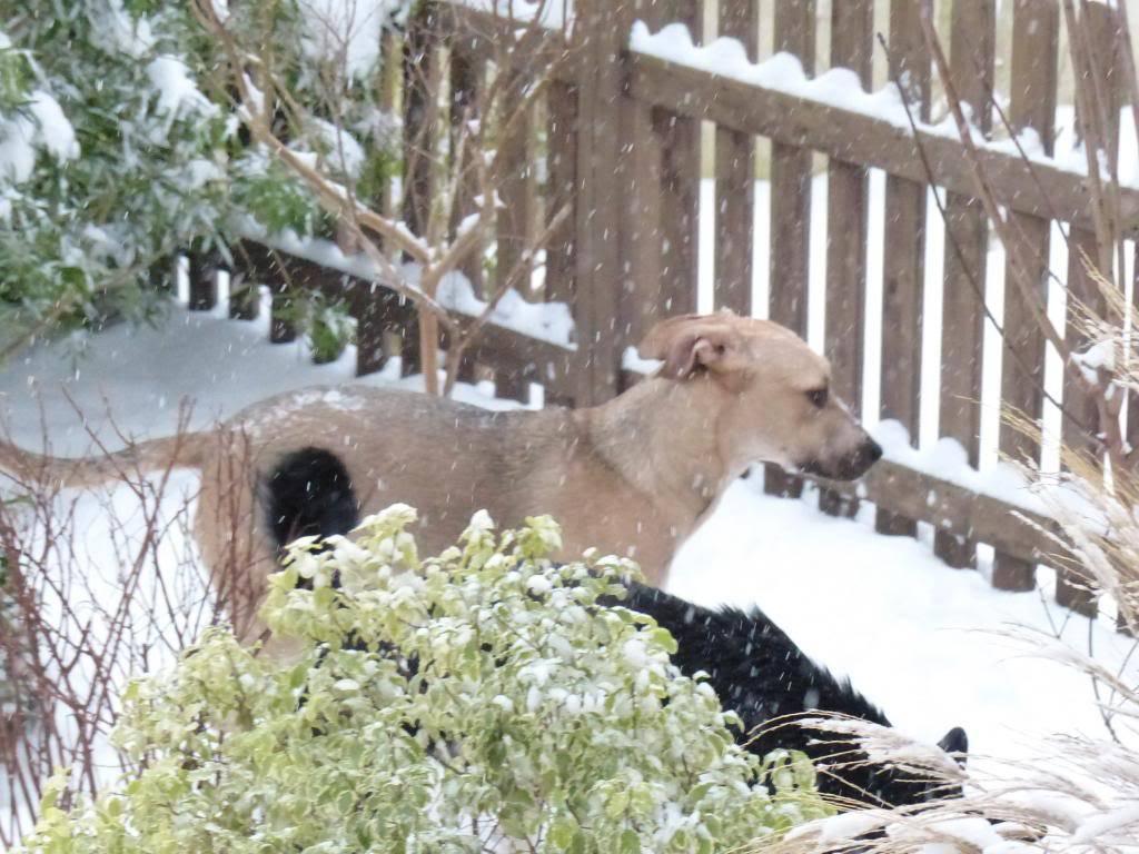 Lila, adorable chienne croisée, née en octobre 2011 P1020630_zpsb908a67e