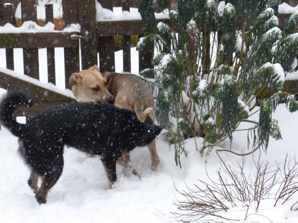 Lila, adorable chienne croisée, née en octobre 2011 P1020632_zpsdd5efc6e