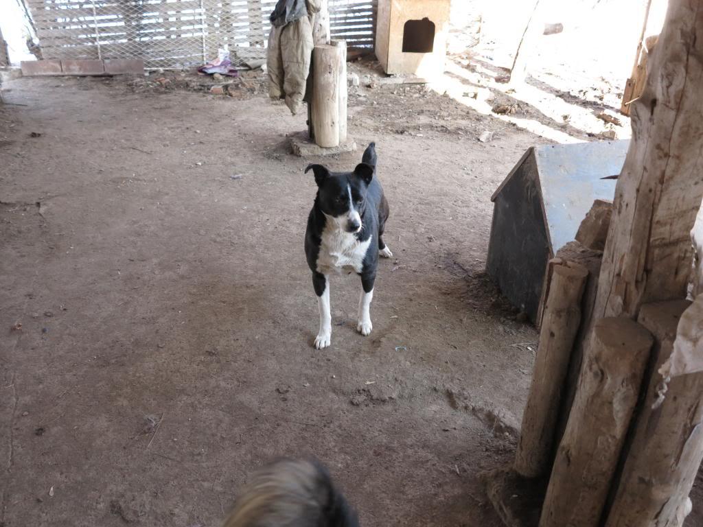 Elios, mâle, type Border Collie, né en 2009 IMG_3815_zpsee5bf95a