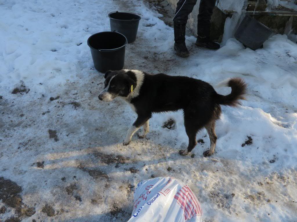 Rudolf, petit croisé border, né en 2011 IMG_3831_zps3568dbda