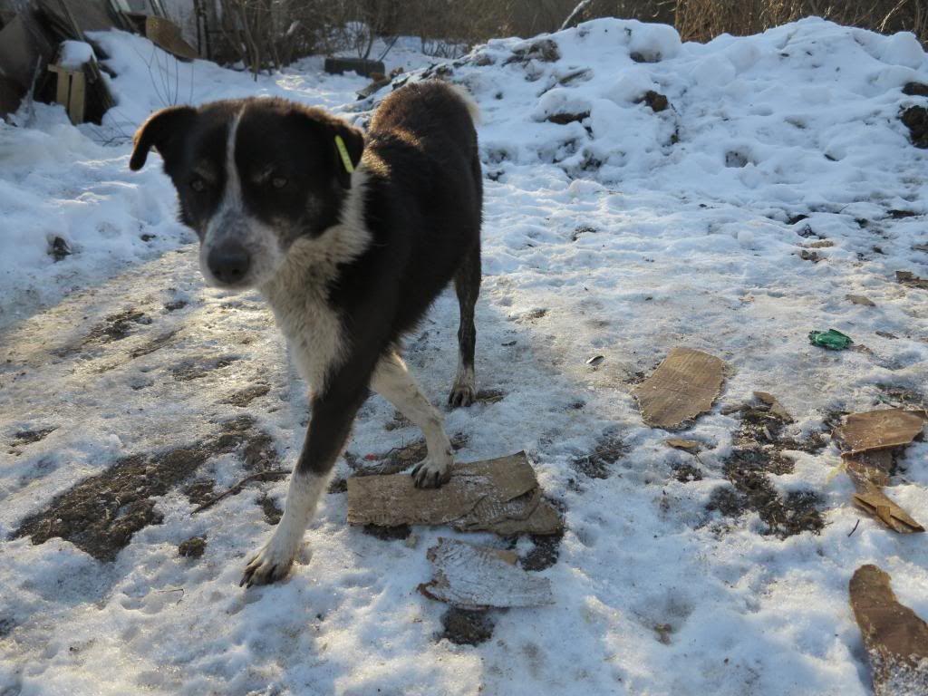 Rudolf, petit croisé border, né en 2011 IMG_3837_zpse529500e