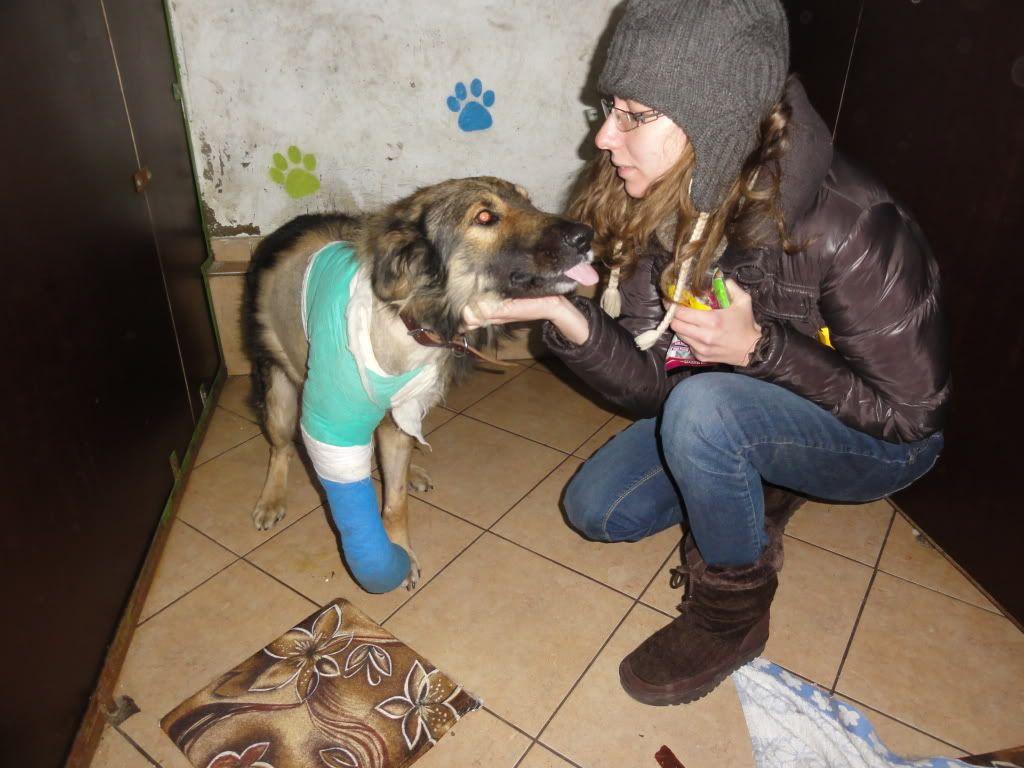Ringo, mâle, né en 2010, type berger allemand , le chien miracle... ADOPTE ! DSC05724