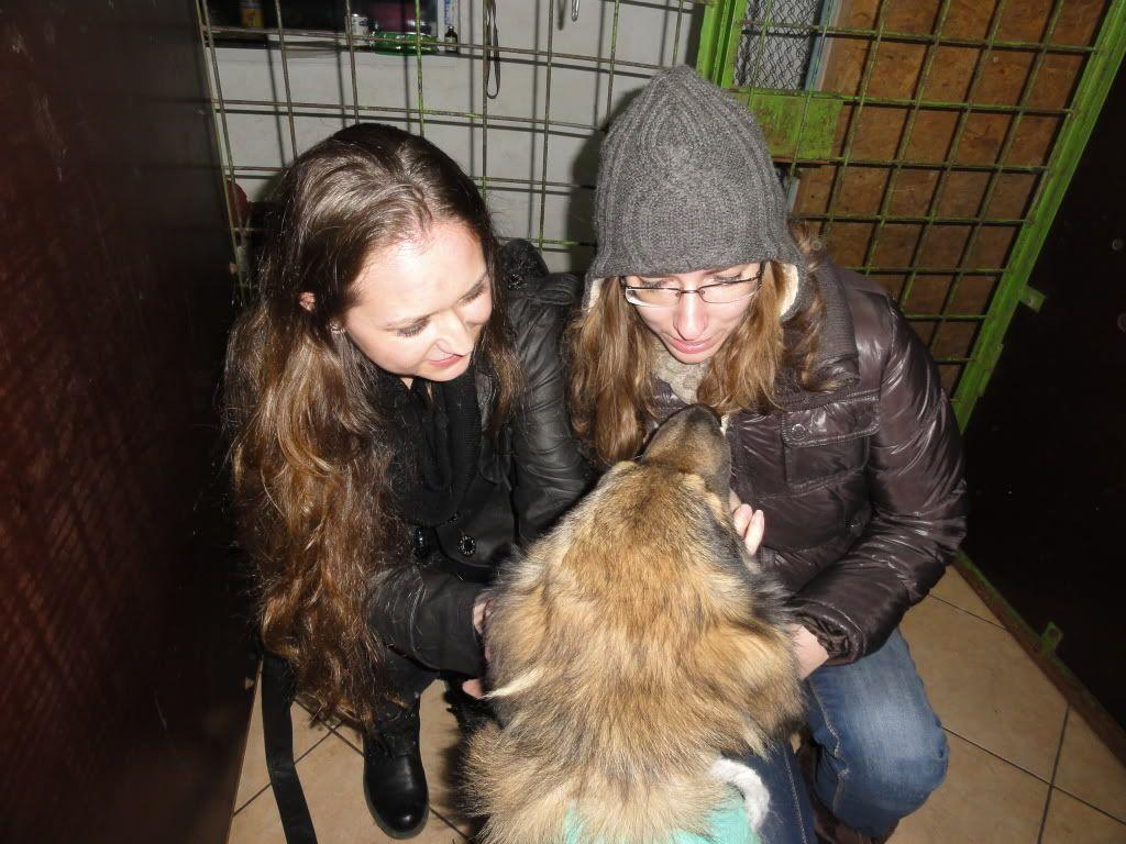 Ringo, mâle, né en 2010, type berger allemand , le chien miracle... ADOPTE ! DSC05731