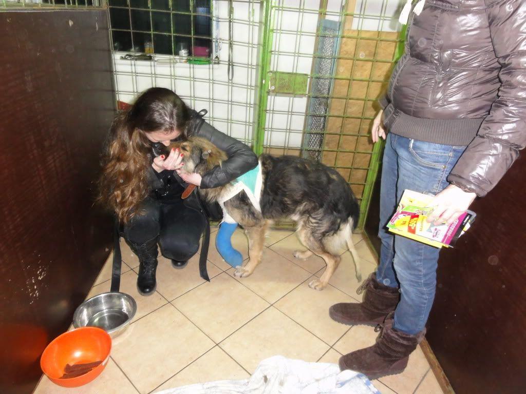 Ringo, mâle, né en 2010, type berger allemand , le chien miracle... ADOPTE ! DSC05733