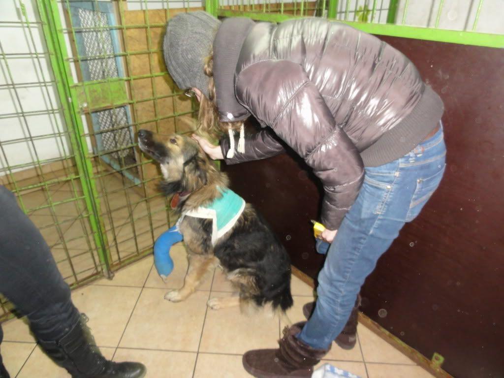 Ringo, mâle, né en 2010, type berger allemand , le chien miracle... ADOPTE ! DSC05739