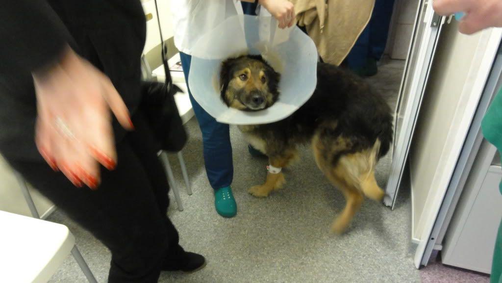 Ringo, mâle, né en 2010, type berger allemand , le chien miracle... ADOPTE ! DSC07176