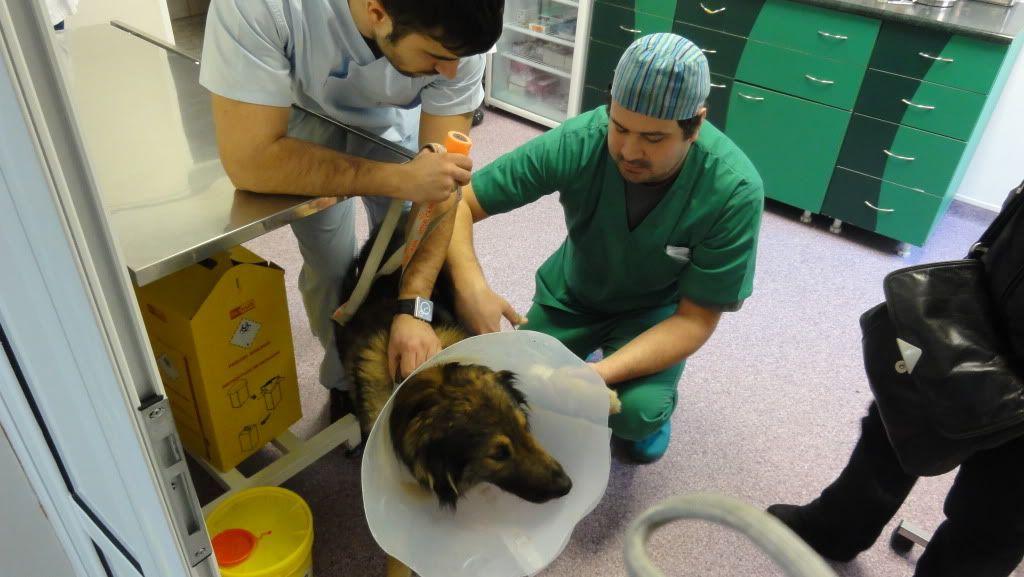 Ringo, mâle, né en 2010, type berger allemand , le chien miracle... ADOPTE ! DSC07183