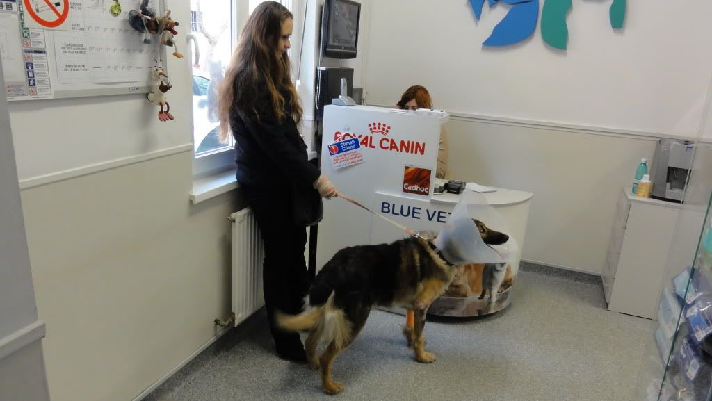 Ringo, mâle, né en 2010, type berger allemand , le chien miracle... ADOPTE ! DSC07193