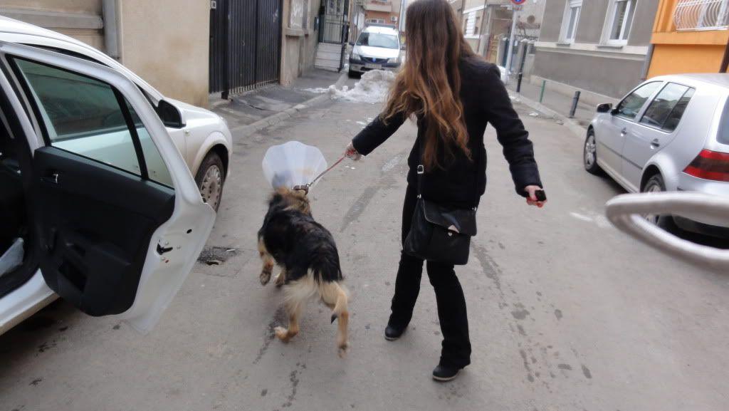 Ringo, mâle, né en 2010, type berger allemand , le chien miracle... ADOPTE ! DSC07198