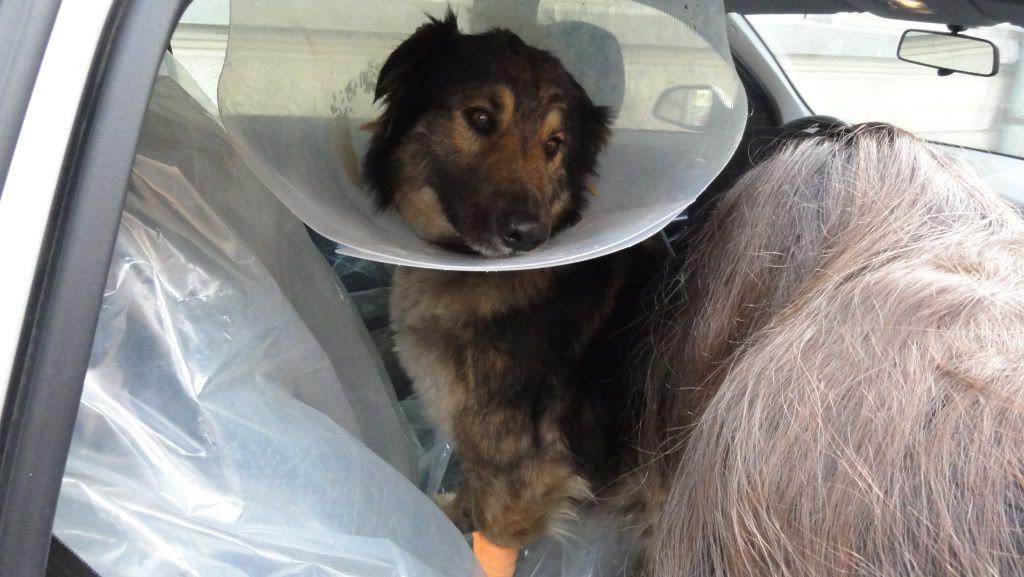 Ringo, mâle, né en 2010, type berger allemand , le chien miracle... ADOPTE ! DSC07199