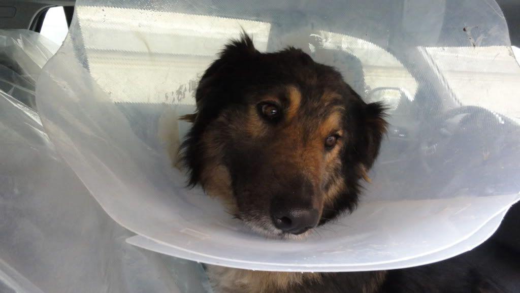 Ringo, mâle, né en 2010, type berger allemand , le chien miracle... ADOPTE ! DSC07200