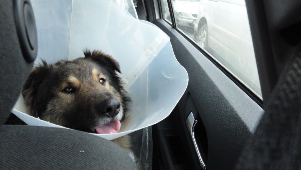 Ringo, mâle, né en 2010, type berger allemand , le chien miracle... ADOPTE ! DSC07207