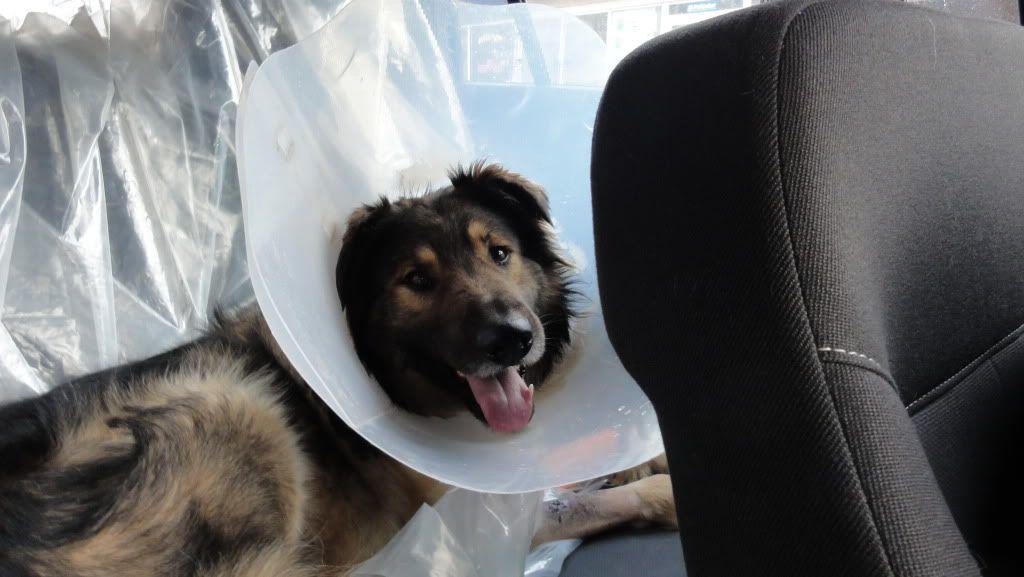 Ringo, mâle, né en 2010, type berger allemand , le chien miracle... ADOPTE ! DSC07211