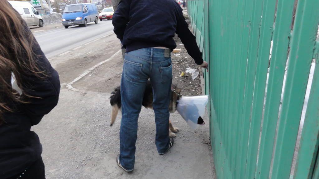 Ringo, mâle, né en 2010, type berger allemand , le chien miracle... ADOPTE ! DSC07215
