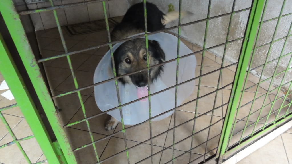 Ringo, mâle, né en 2010, type berger allemand , le chien miracle... ADOPTE ! DSC07222