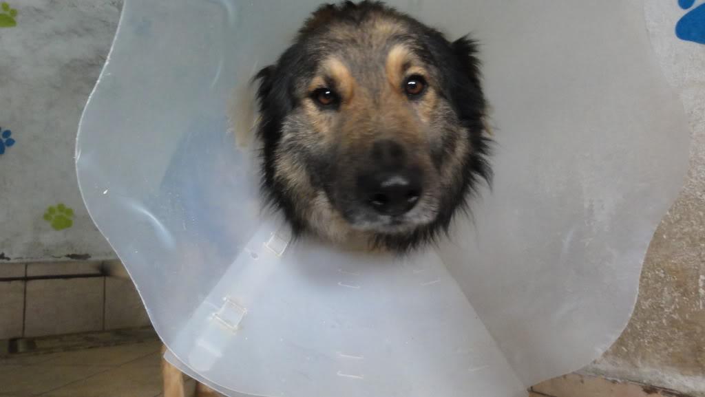 Ringo, mâle, né en 2010, type berger allemand , le chien miracle... ADOPTE ! DSC07240