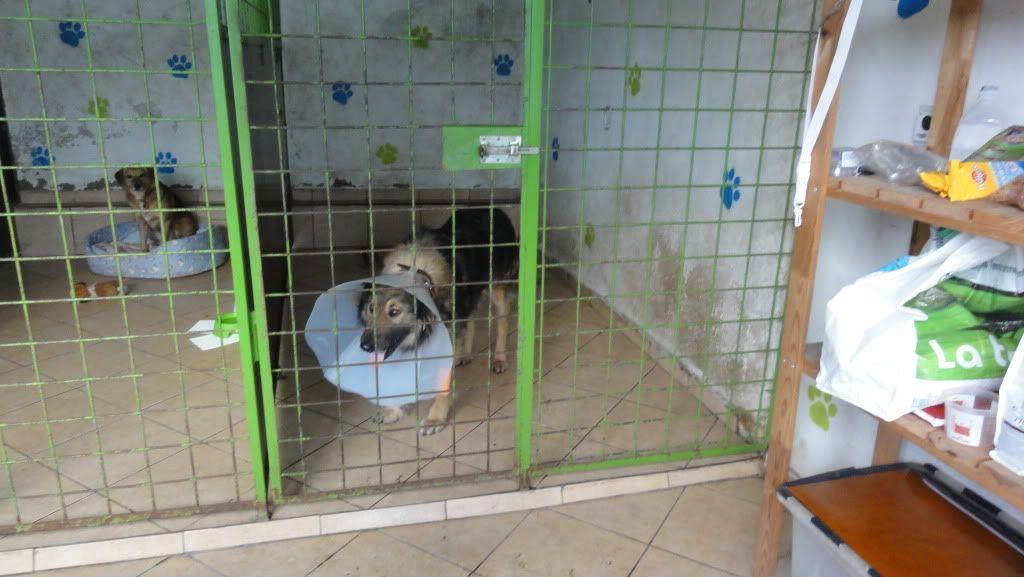 Ringo, mâle, né en 2010, type berger allemand , le chien miracle... ADOPTE ! DSC07241