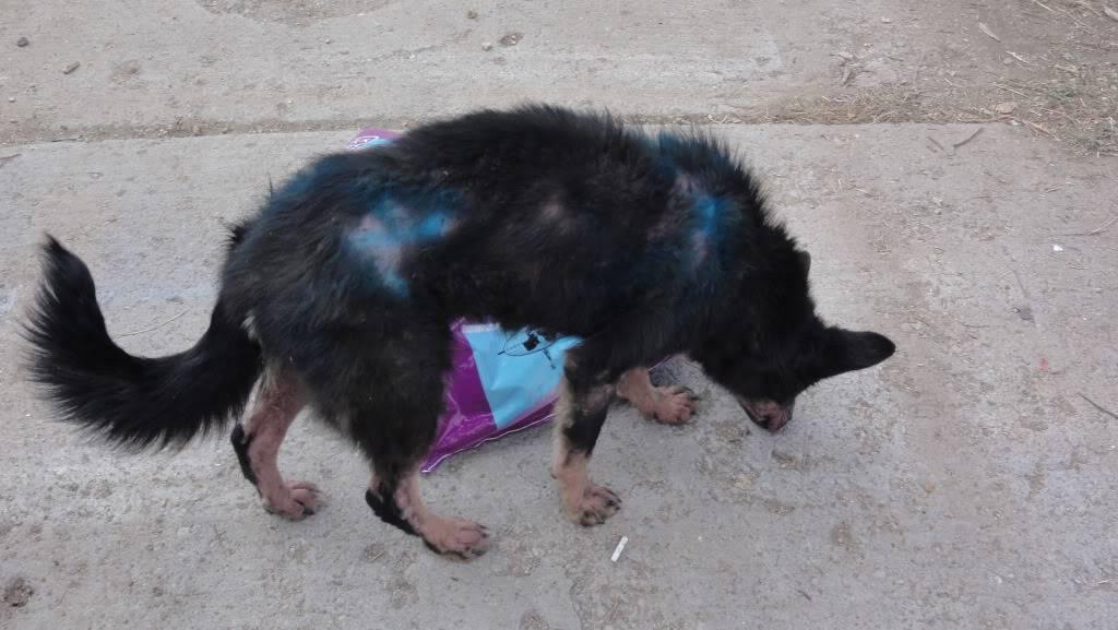 > Mika, un amour de petite chienne, née en mai 2011 - Adoptée DSC04440