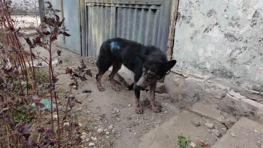 > Mika, un amour de petite chienne, née en mai 2011 - Adoptée DSC04444
