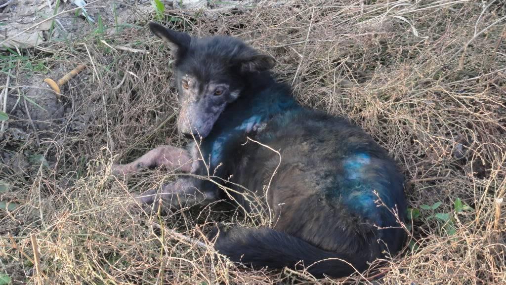> Mika, un amour de petite chienne, née en mai 2011 - Adoptée DSC04476
