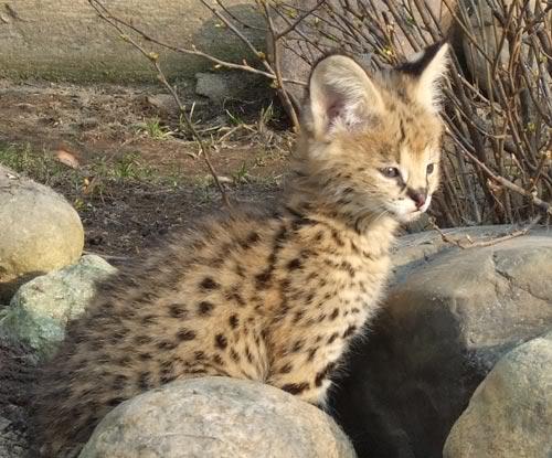 Кошки (Cats) Serval