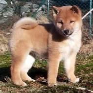 Красивые и добрые собаки Shiba-Inu