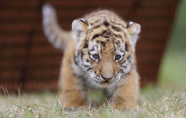 Эти удивительные животные, птицы и другие создания природы Tiger_zpsa23b1c41