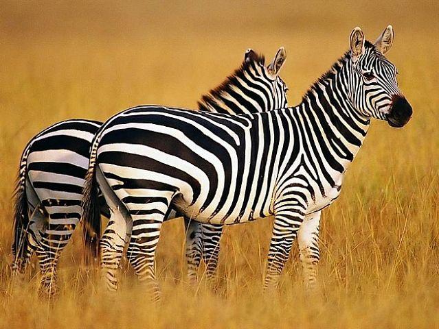 Эти удивительные животные, птицы и другие создания природы Zebra_zpse0383deb