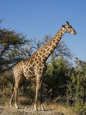 Эти удивительные животные, птицы и другие создания природы Ziraf_zpsead7c61d