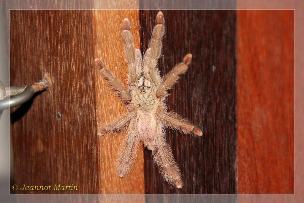 Guyane 2014 Vogelspinne-6324