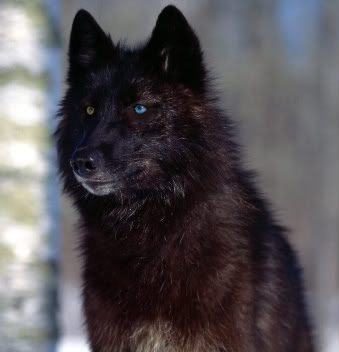White Fang Wolf (First Wolf Pack) *Finished, and First ever on OnRp* Black-wolf