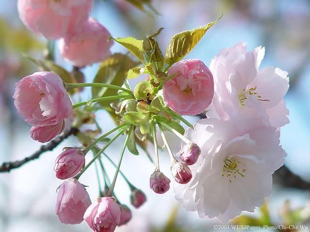 Vẻ đẹp hoa anh đào ... Ad7