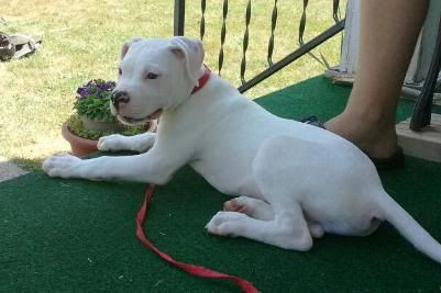 Our NEW American Bulldog pup... Angus! :) 2011-07-26145606-1