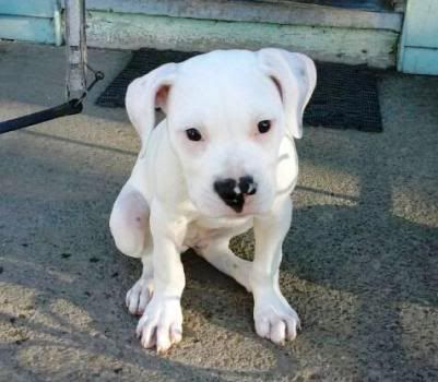 Our NEW American Bulldog pup... Angus! :) 2011-07-26191328-1