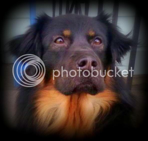 My English Shepherd LUNA :) *pic heavy* Img1330284842655-Copy