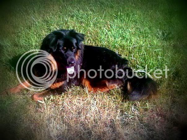 My English Shepherd LUNA :) *pic heavy* Img1330289498342-Copy