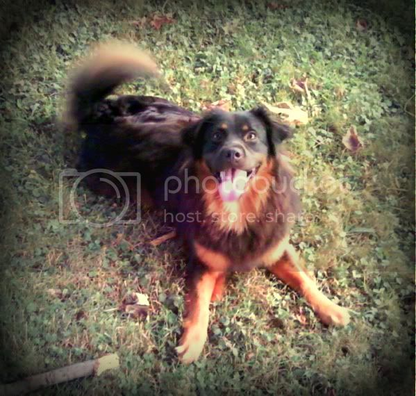 My English Shepherd LUNA :) *pic heavy* Img1330289605237-Copy