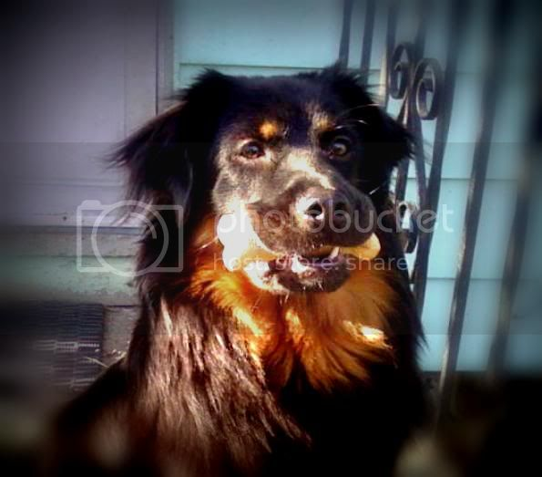My English Shepherd LUNA :) *pic heavy* Img1330291307237-Copy-Copy