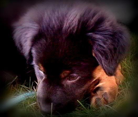 My English Shepherd LUNA :) *pic heavy* Img1330292476310-Copy