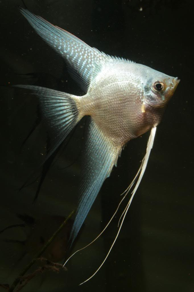 Robs fish room tales. - Page 4 IMG_0425_zps2cb4767e