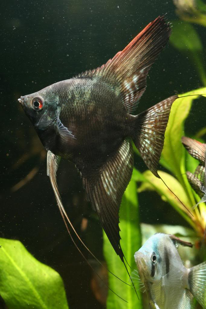 Robs fish room tales. IMG_1480_zps598c9442