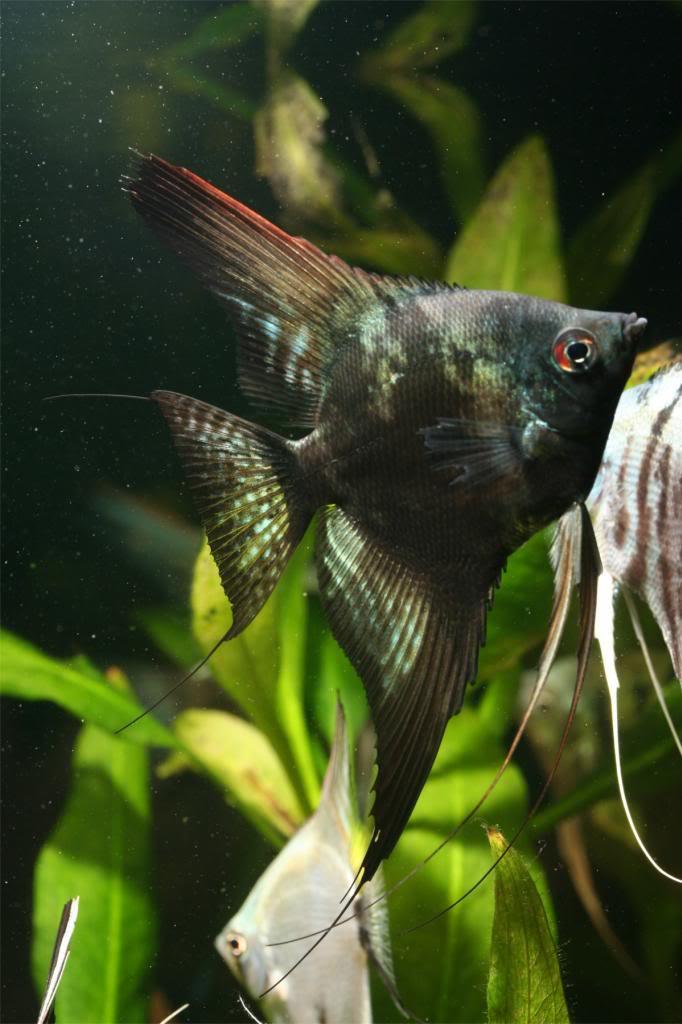 Robs fish room tales. IMG_1529_zpsfe1a4e10
