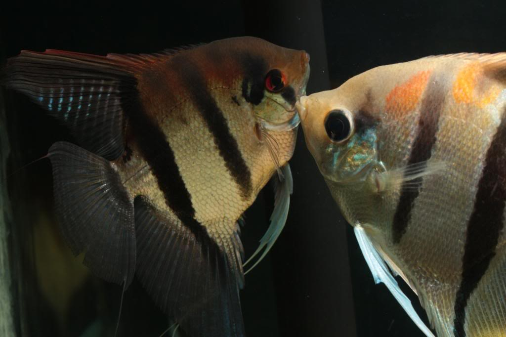 Robs fish room tales. - Page 2 IMG_1685_zps0e234e73