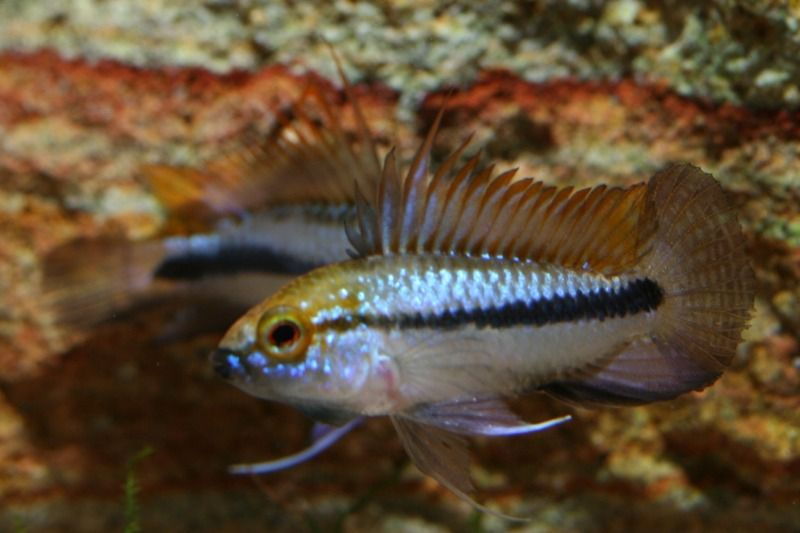 Mostly Blue, Mostly Cichlids IMG_1823
