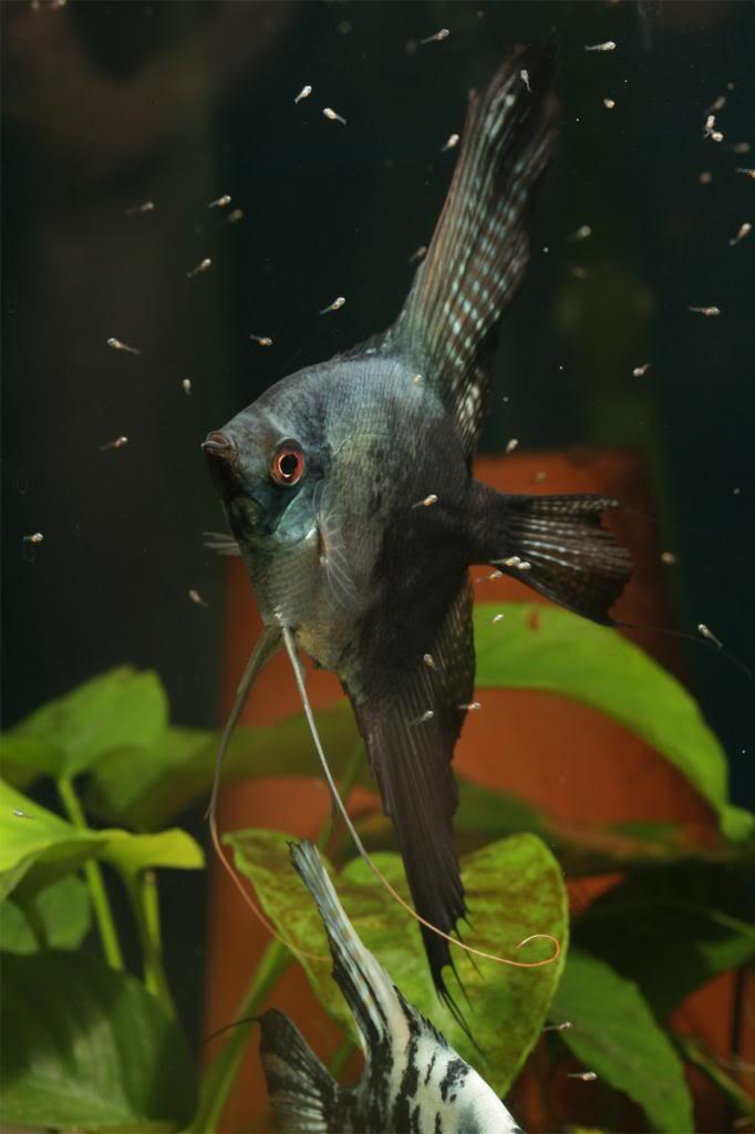 Robs fish room tales. - Page 4 IMG_2967_zpsb51fda3b