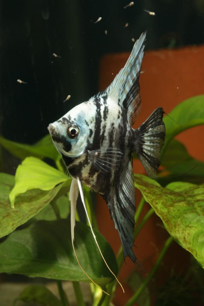 Robs fish room tales. - Page 4 IMG_2968_zps4a05e0c1