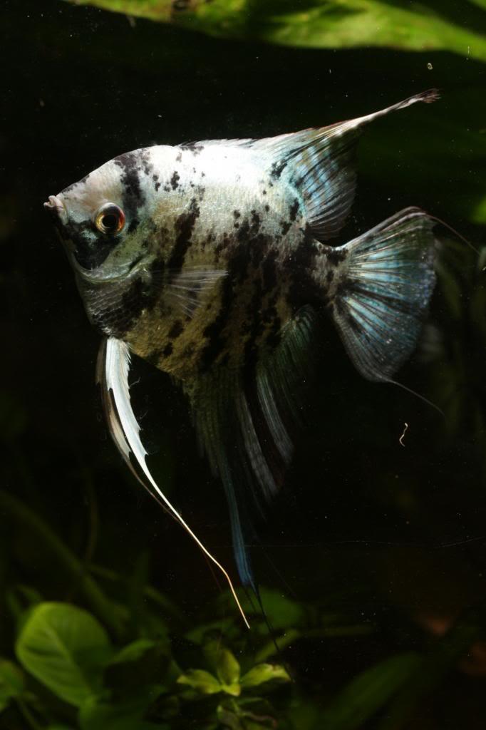 More of my fish IMG_6913_zps88e7aa2c